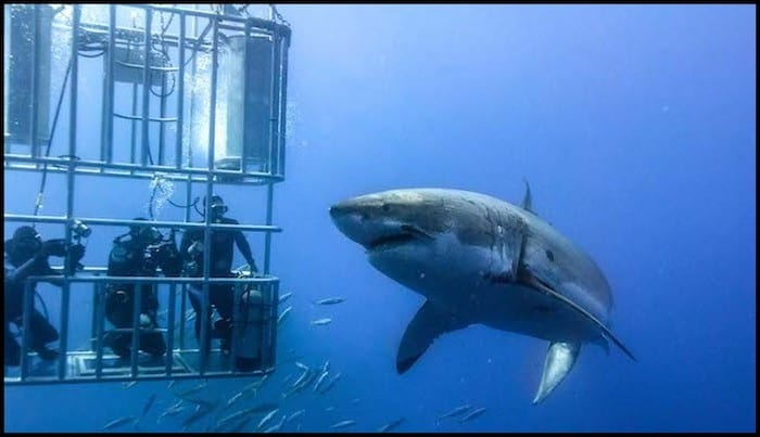 Cage Diving With Great White Sharks Summer Adventure
