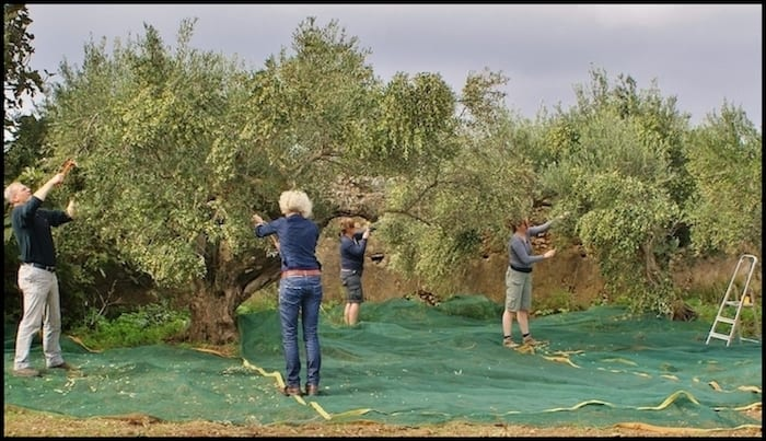 Olive Picking Greece Fall Adventure