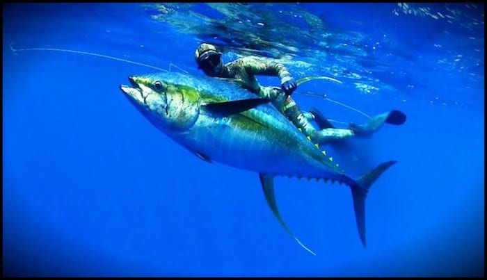Spearfish Ascension Islands