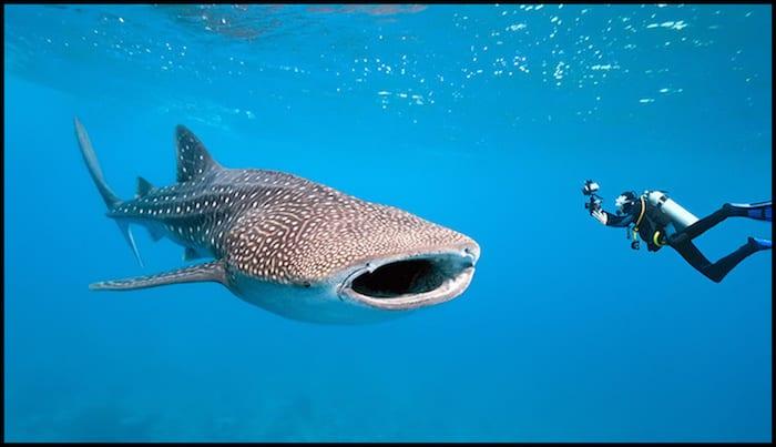 Swimming With Whake Sharks Summer Adventure