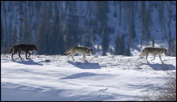 Wolf Tracking Winter Adventure